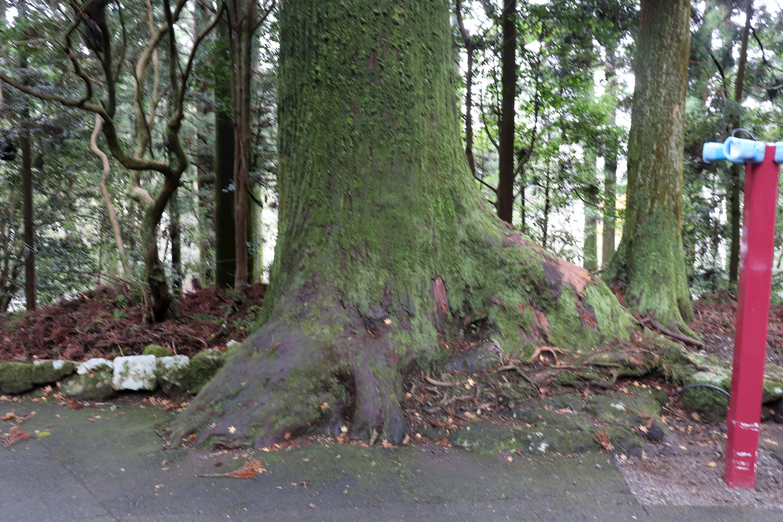 箱根神社の杉