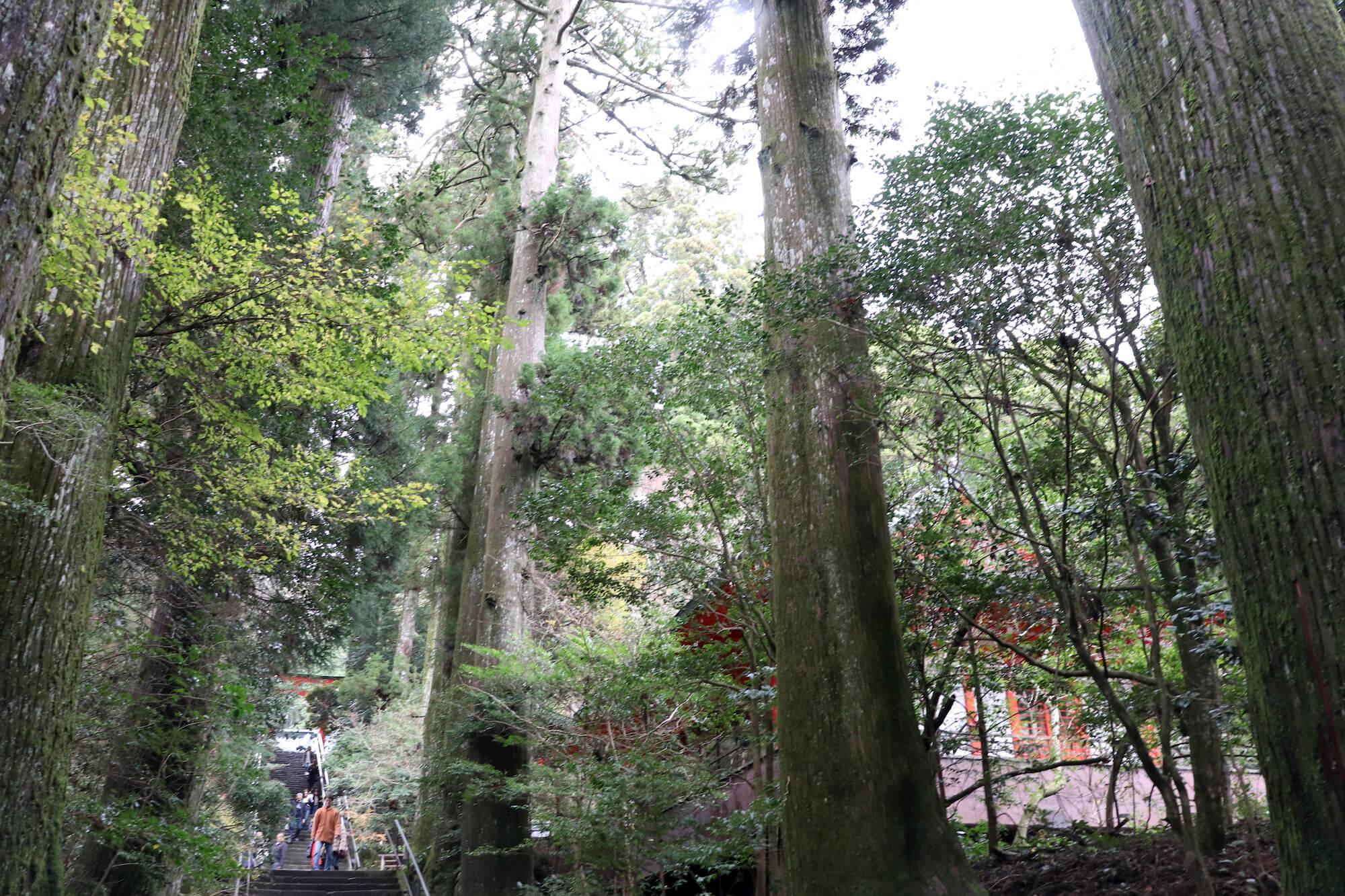 参道石段の杉