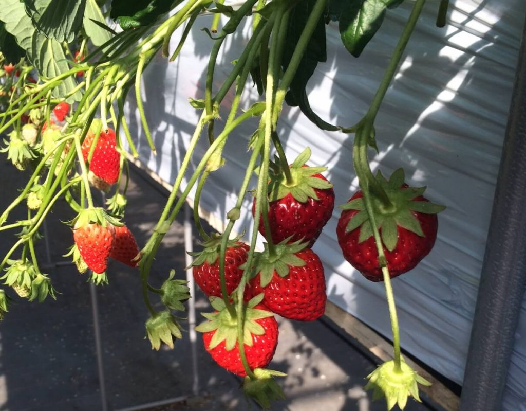 飯島ファームのイチゴ