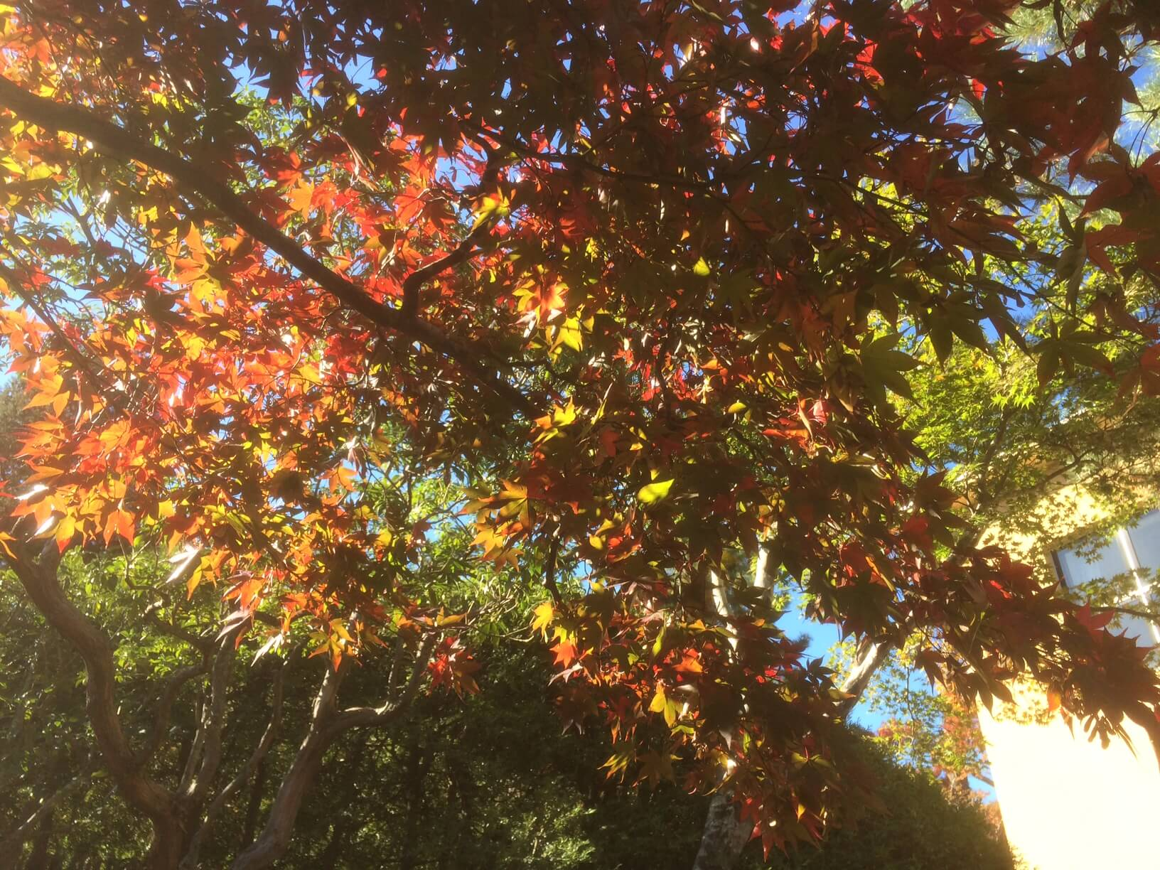 強羅公園のもみじの紅葉