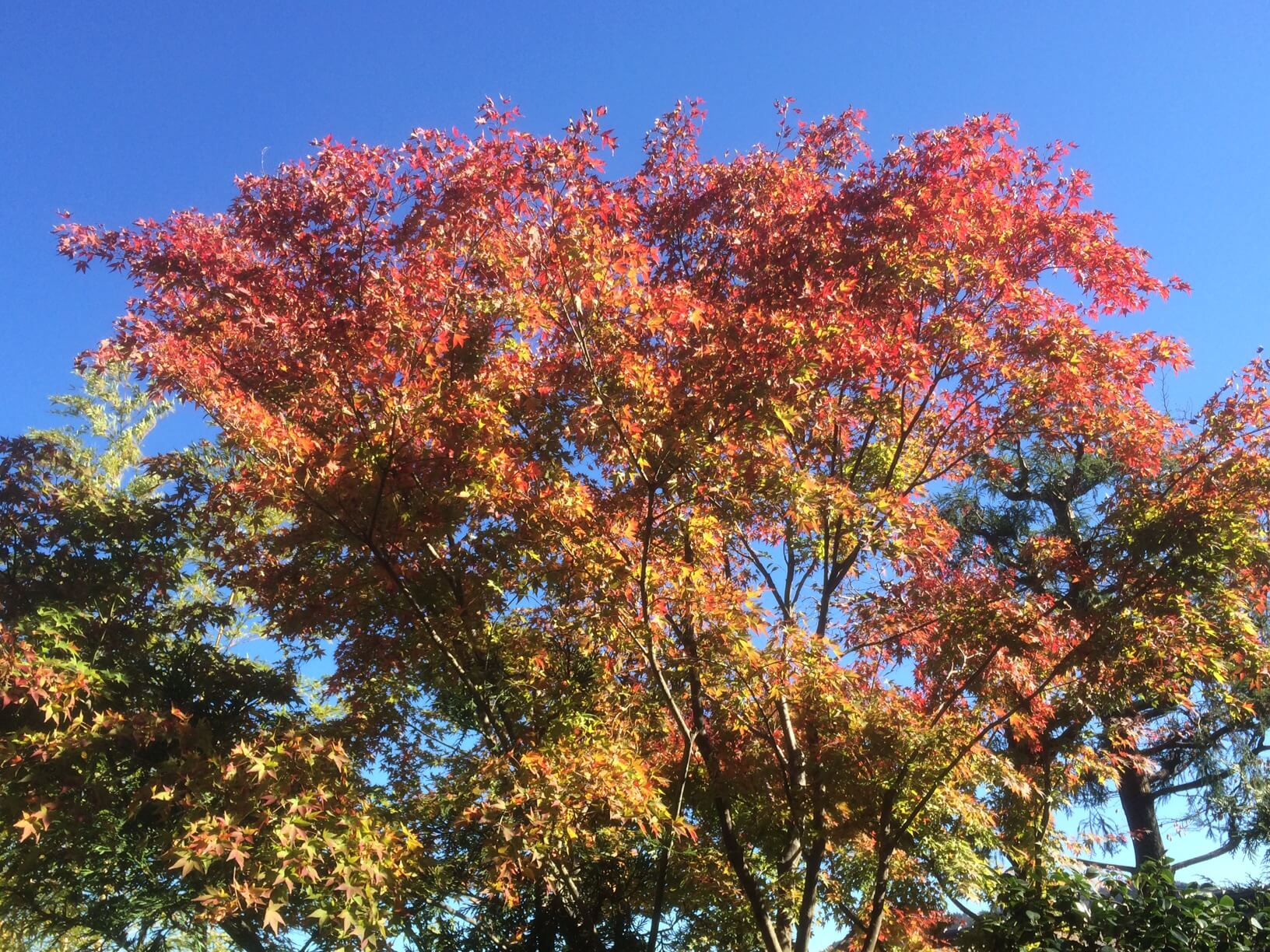 強羅公園の紅葉