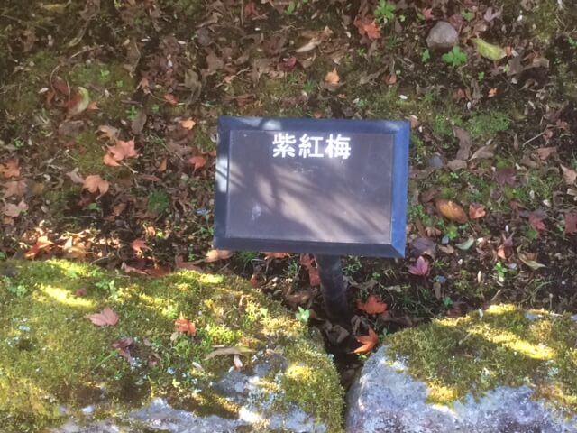 強羅公園の紫紅梅