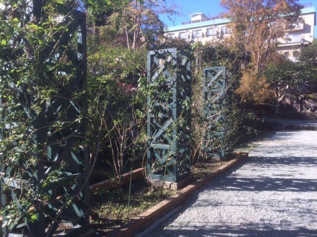 強羅公園のまだ咲いていないバラ