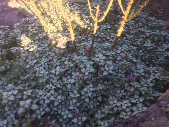 強羅公園のバラ