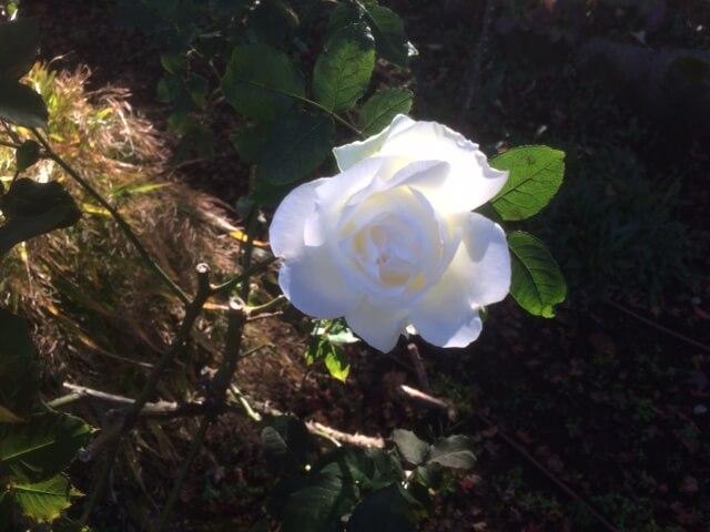 強羅公園の白いバラ