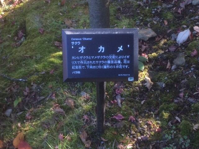 強羅公園のオカメという花