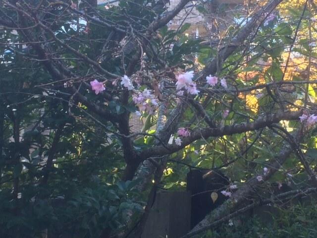 強羅公園の十月桜