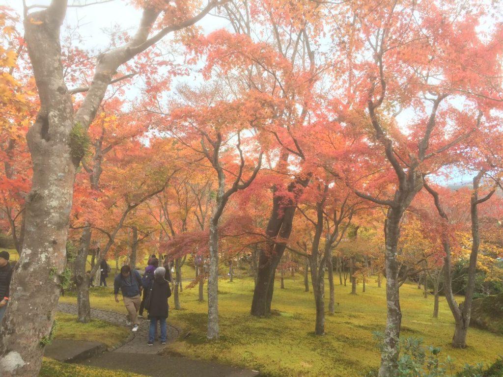 箱根美術館の苔庭の紅葉が見頃のもみじ