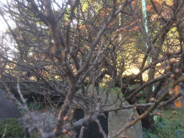熱海梅園の未開の梅