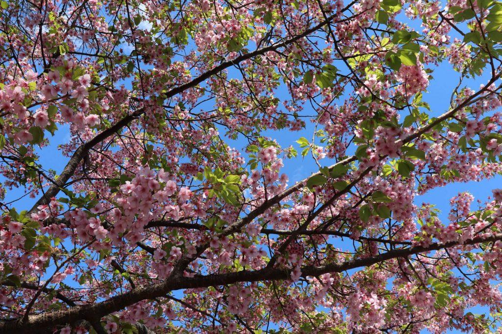 亀ヶ丘公園の河津桜