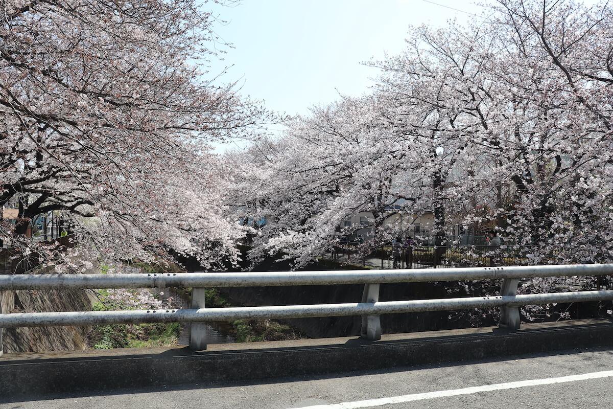 三沢川の桜