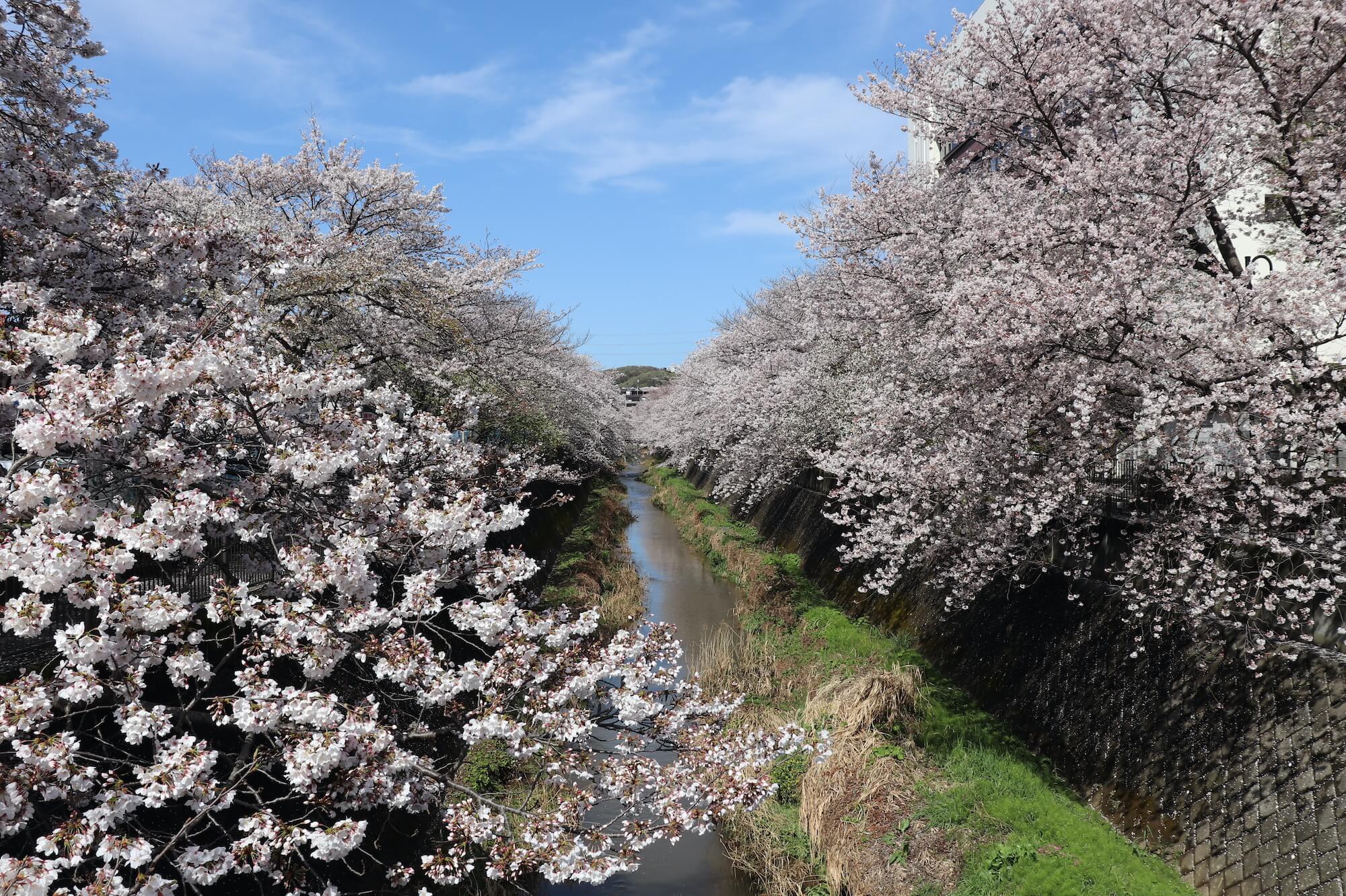 稲城市の三沢川の満開の桜
