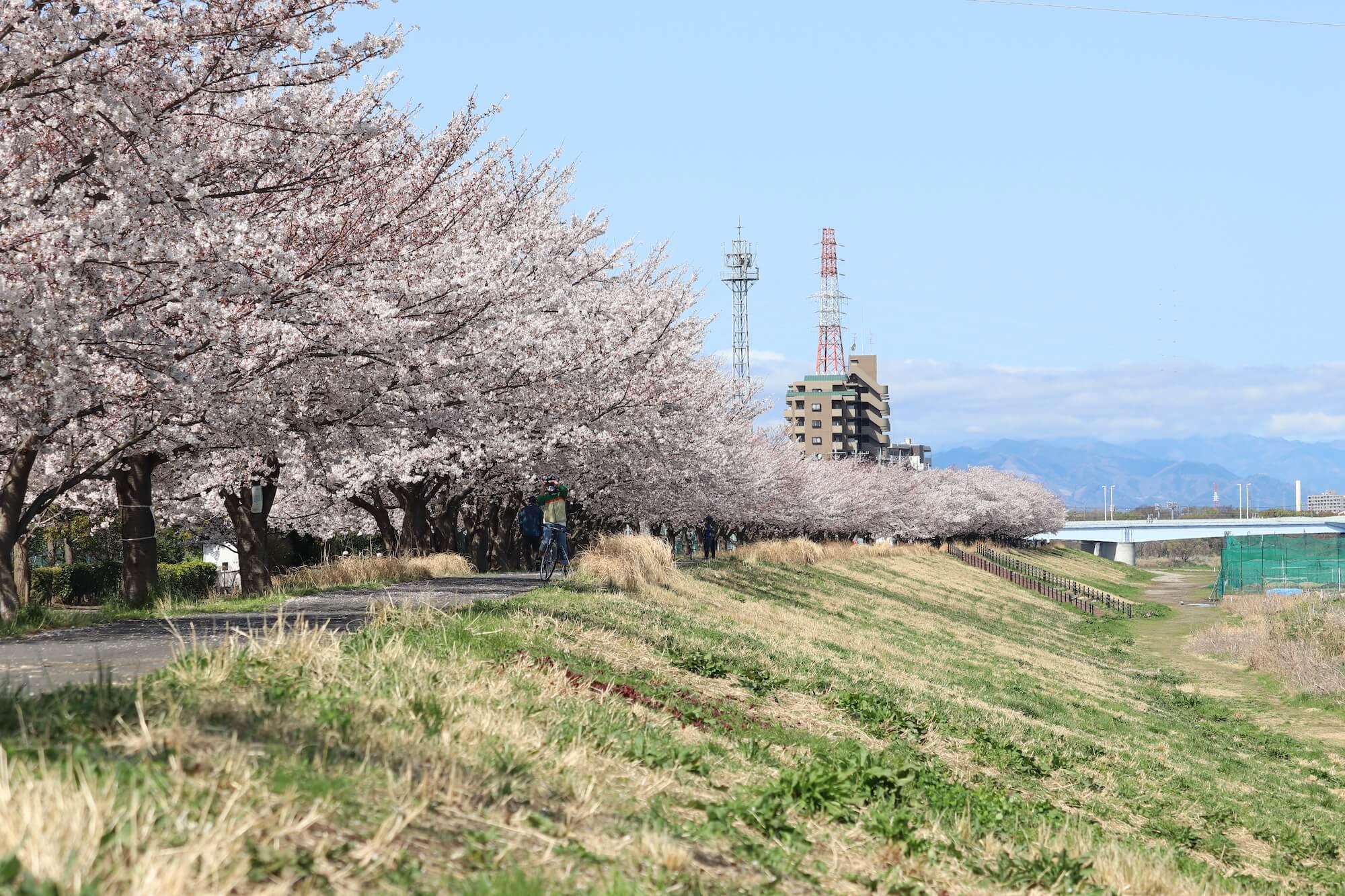 多摩川の稲城北緑地の桜
