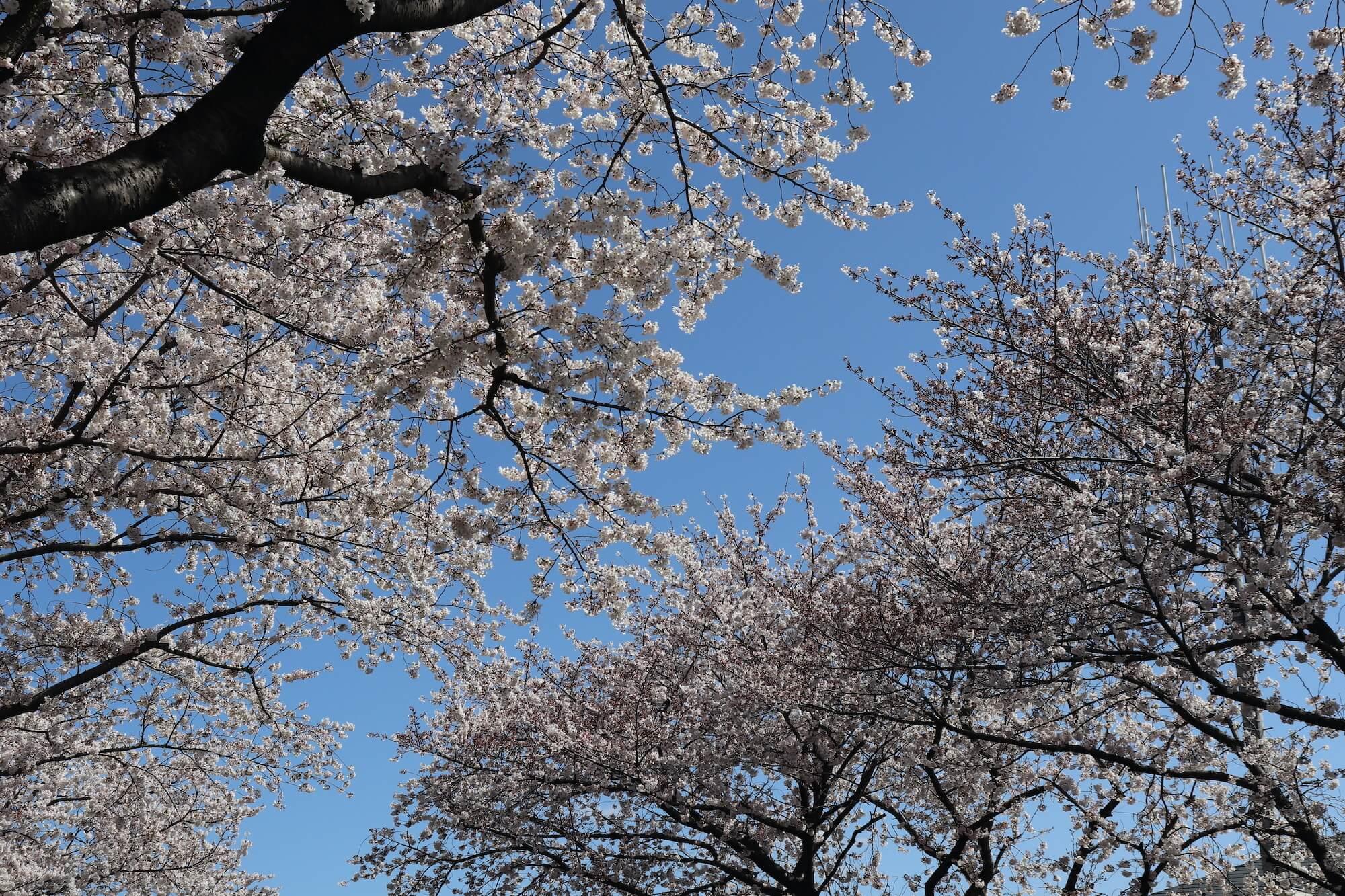 新小金井街道の桜