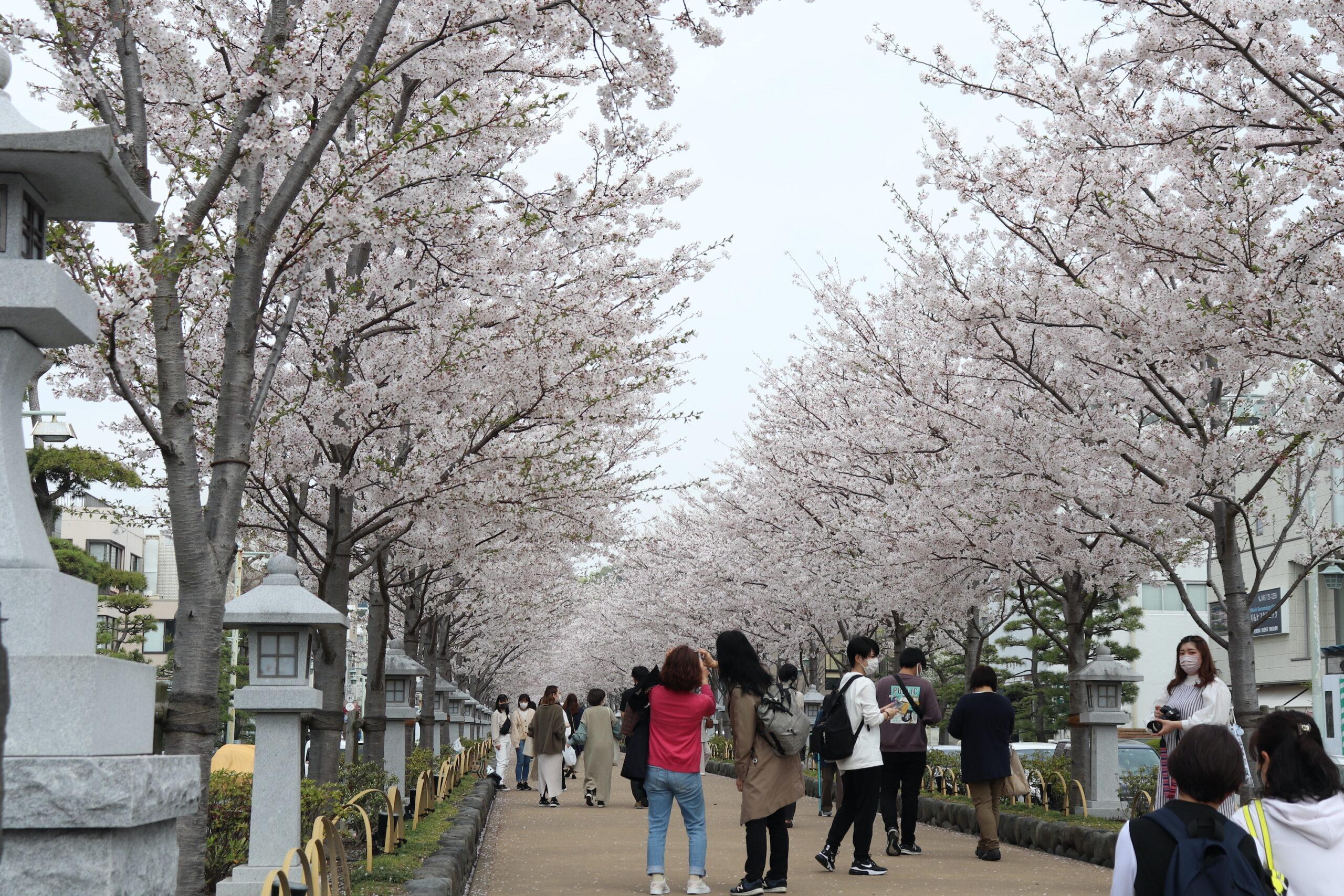 桜で満開の段葛