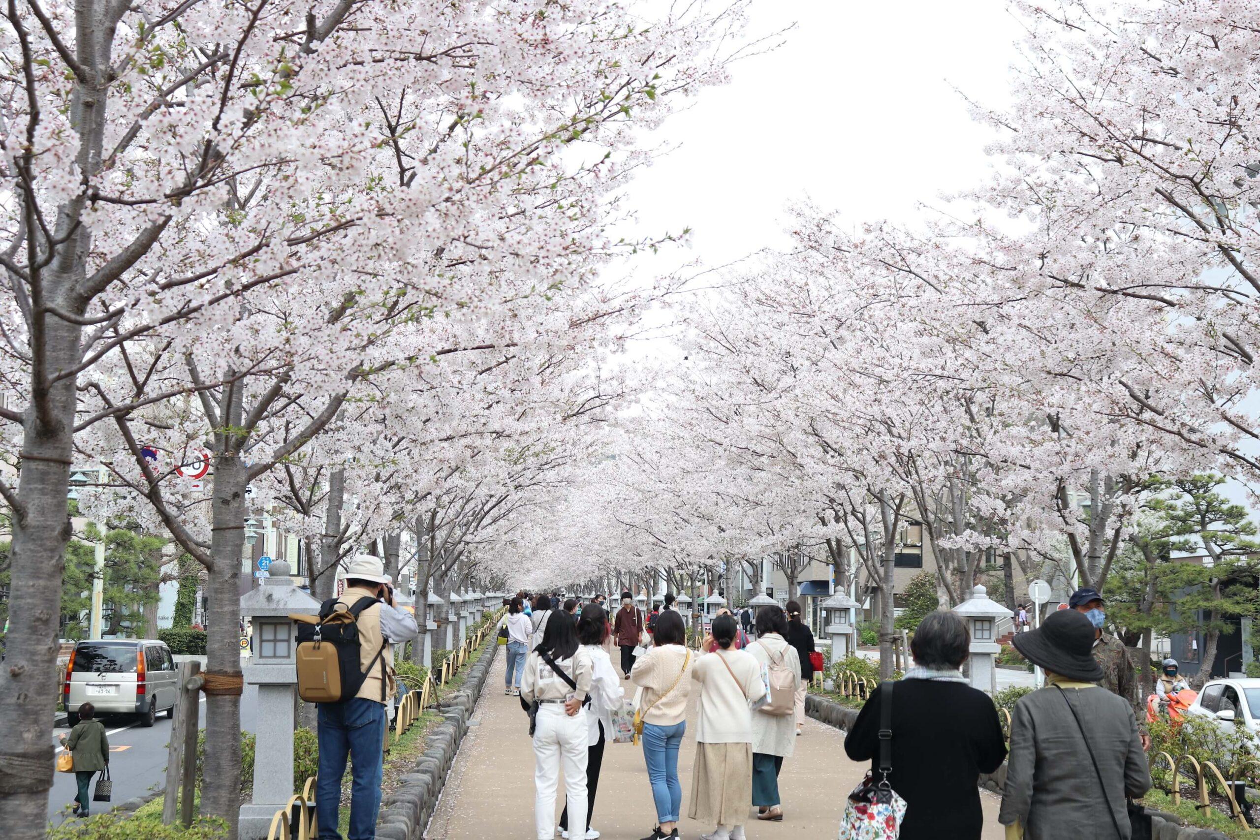 桜が満開の春の段葛